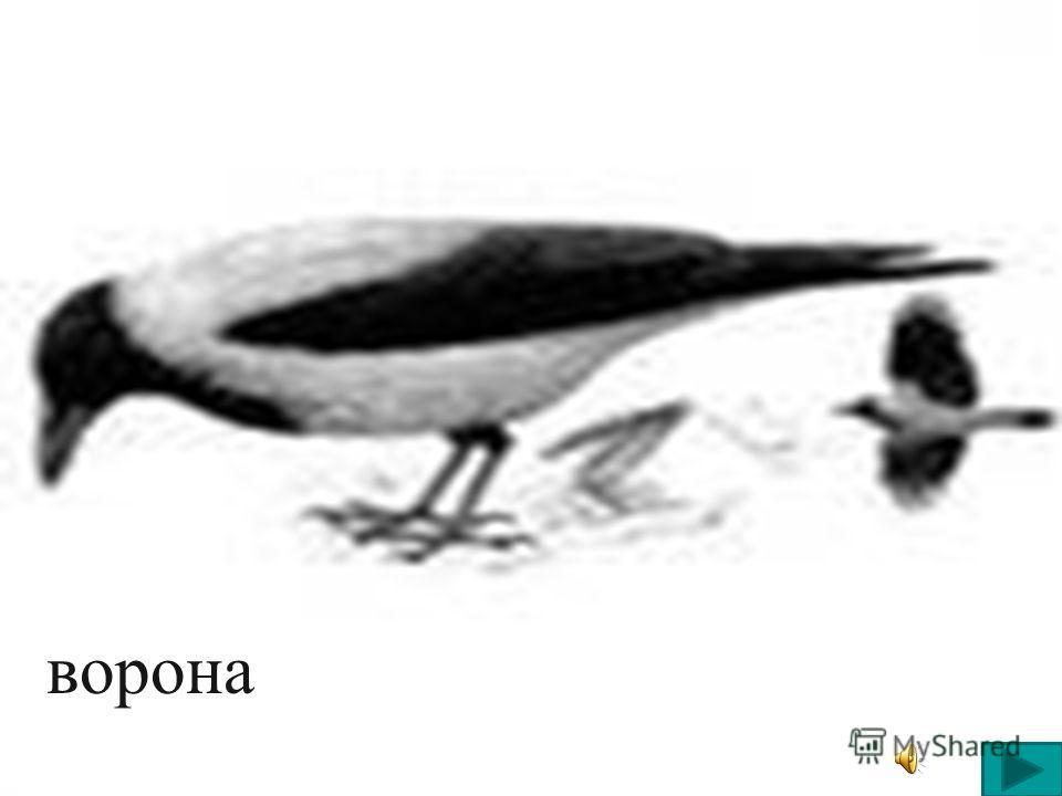 Многие птицы на юг улетают, Многие зиму у нас коротают, Галка, ворона, снегирь, воробей. Ну - ка, ребята, их вспомним скорей…