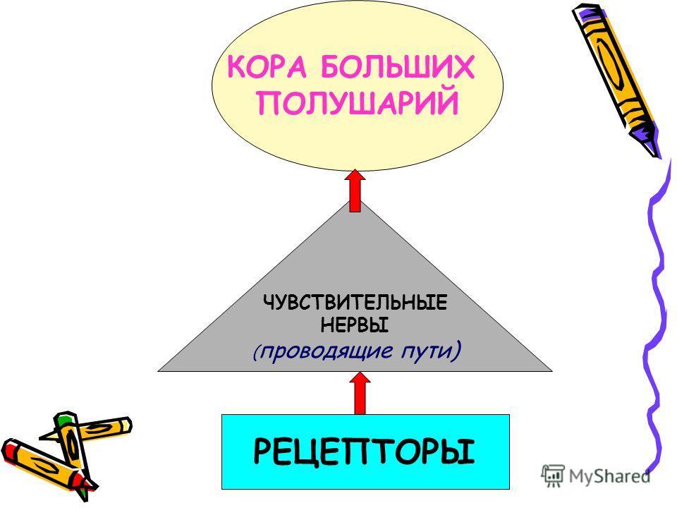 РЕЦЕПТОРЫ КОРА БОЛЬШИХ ПОЛУШАРИЙ ЧУВСТВИТЕЛЬНЫЕ НЕРВЫ ( проводящие пути)