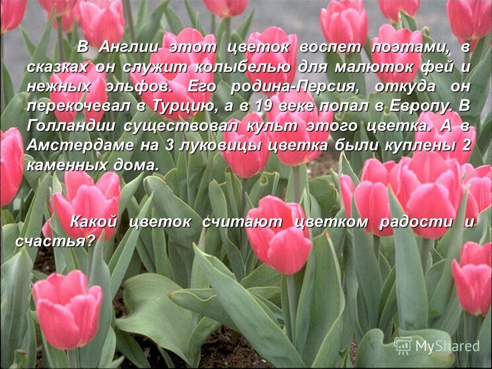 В В Англии этот цветок воспет поэтами, в сказках он служит колыбелью для малюток фей и нежных эльфов. Его родина-Персия, откуда он перекочевал в Турцию, а в 19 веке попал в Европу. В Голландии существовал культ этого цветка. А в Амстердаме на 3 луков