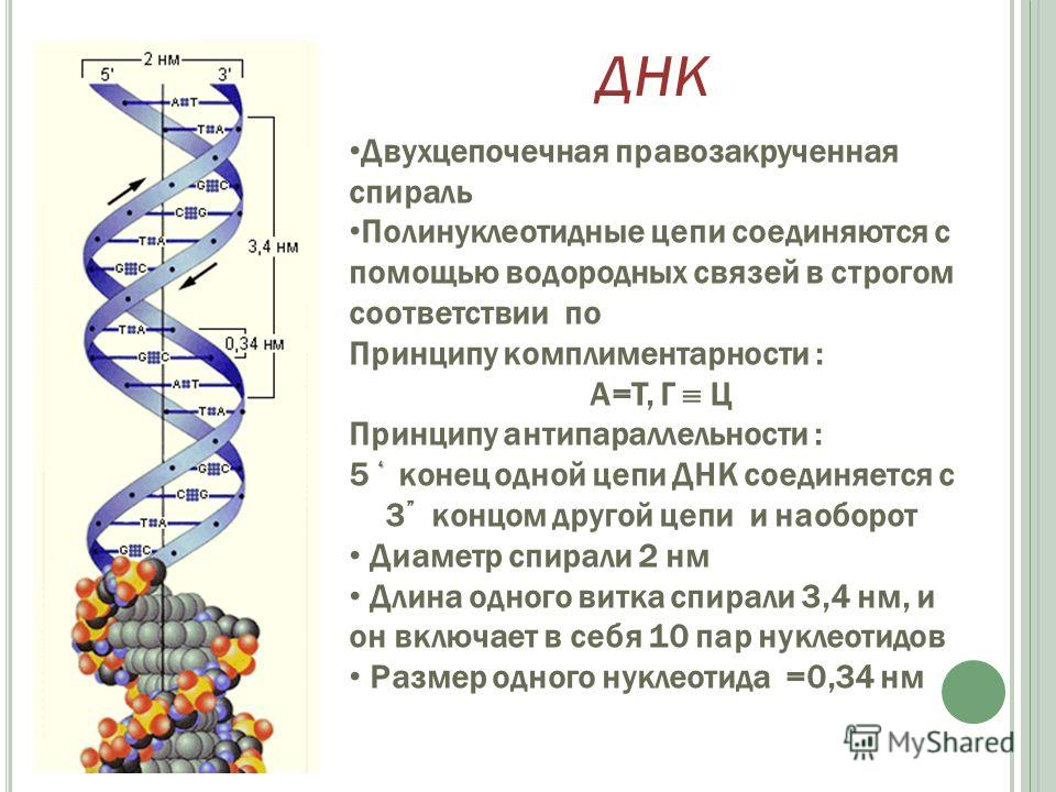 Двухцепочечная правозакрученная спираль Полинуклеотидные цепи соединяются с помощью водородных связей в строгом соответствии по Принципу комплиментарности : А=Т, Г Ц Принципу антипараллельности : 5 конец одной цепи ДНК соединяется с 3 концом другой ц