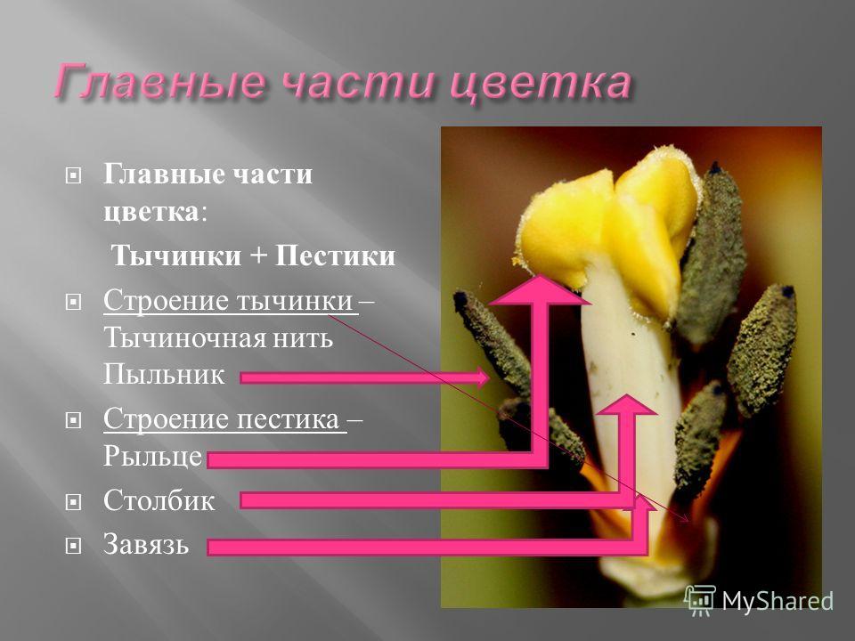 Главные части цветка : Тычинки + Пестики Строение тычинки – Тычиночная нить Пыльник Строение пестика – Рыльце Столбик Завязь