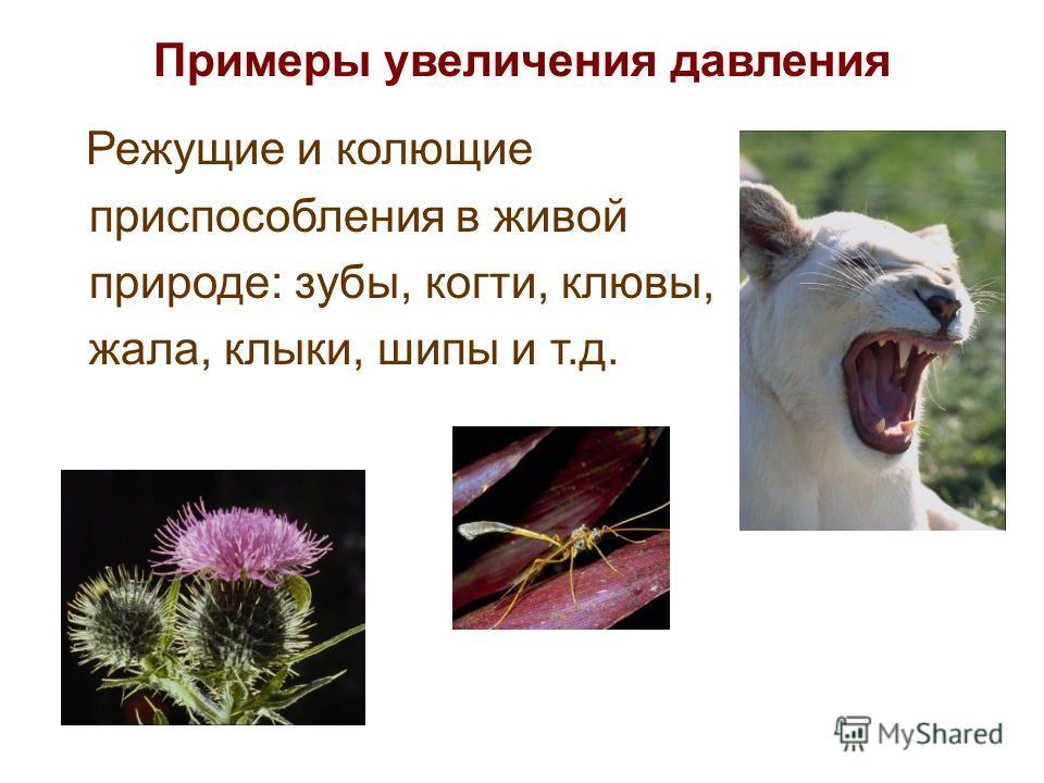 Примеры увеличения давления Режущие и колющие приспособления в живой природе: зубы, когти, клювы, жала, клыки, шипы и т.д.