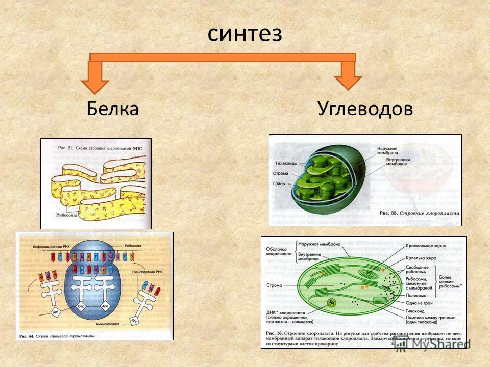 синтез Белка Углеводов