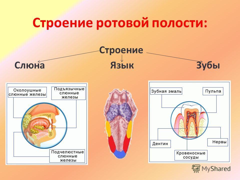Строение ротовой полости: Строение Слюна Язык Зубы