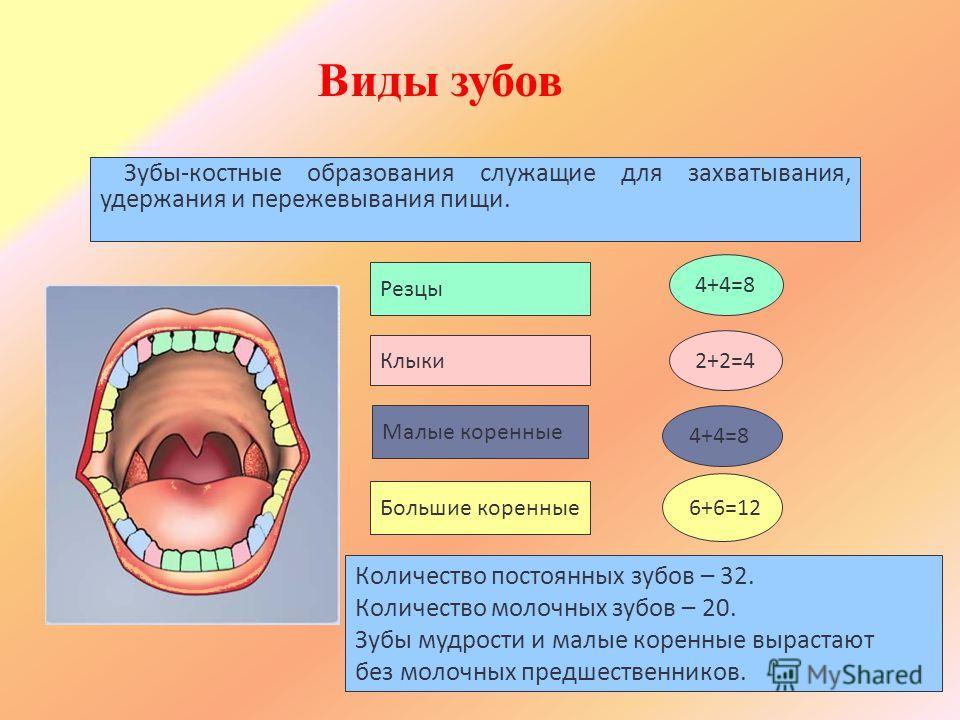Резцы 4+4=8 Клыки 2+2=4 Малые коренные 4+4=8 Большие коренные 6+6=12 Зубы-костные образования служащие для захватывания, удержания и пережевывания пищи. Количество постоянных зубов – 32. Количество молочных зубов – 20. Зубы мудрости и малые коренные