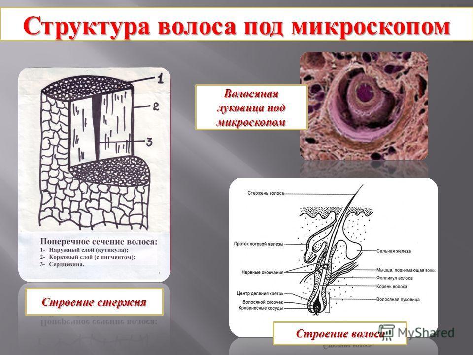 луковица под микроскопом фото