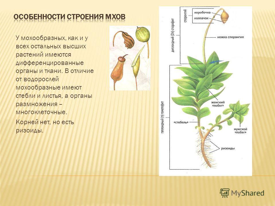 У мохообразных, как и у всех остальных высших растений имеются дифференцированные органы и ткани. В отличие от водорослей мохообразные имеют стебли и листья, а органы размножения – многоклеточные. Корней нет, но есть ризоиды.