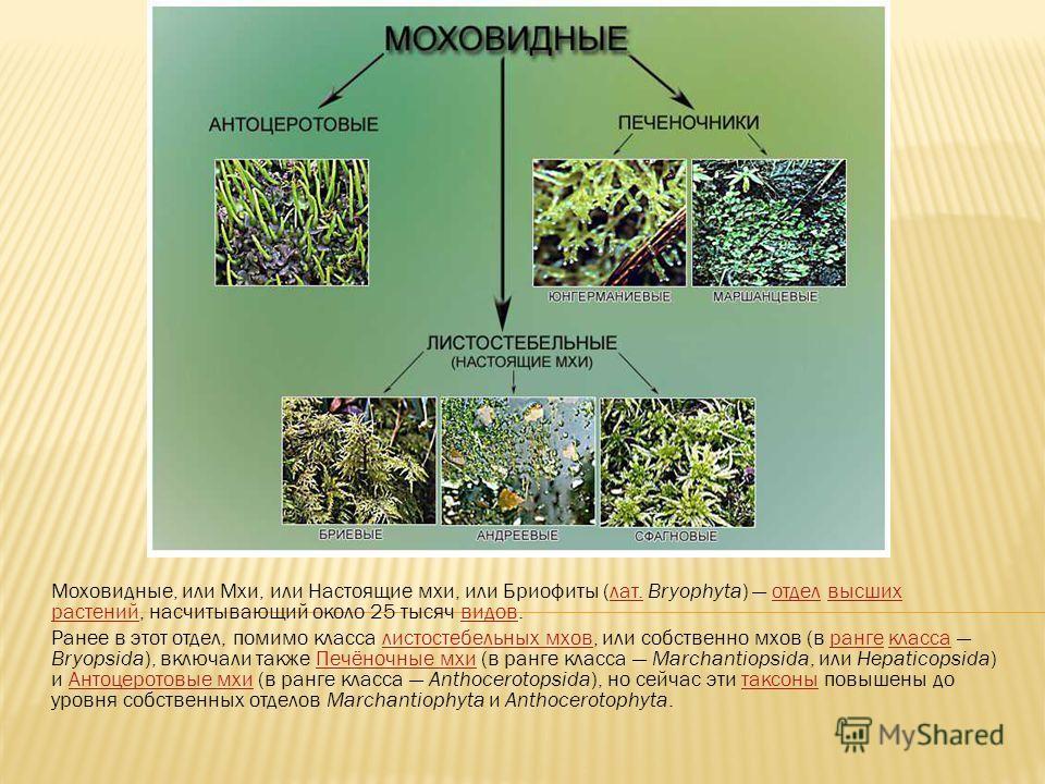 Моховидные, или Мхи, или Настоящие мхи, или Бриофиты (лат. Bryophyta) отдел высших растений, насчитывающий около 25 тысяч видов.лат.отделвысших растенийвидов Ранее в этот отдел, помимо класса листостебельных мхов, или собственно мхов (в ранге класса