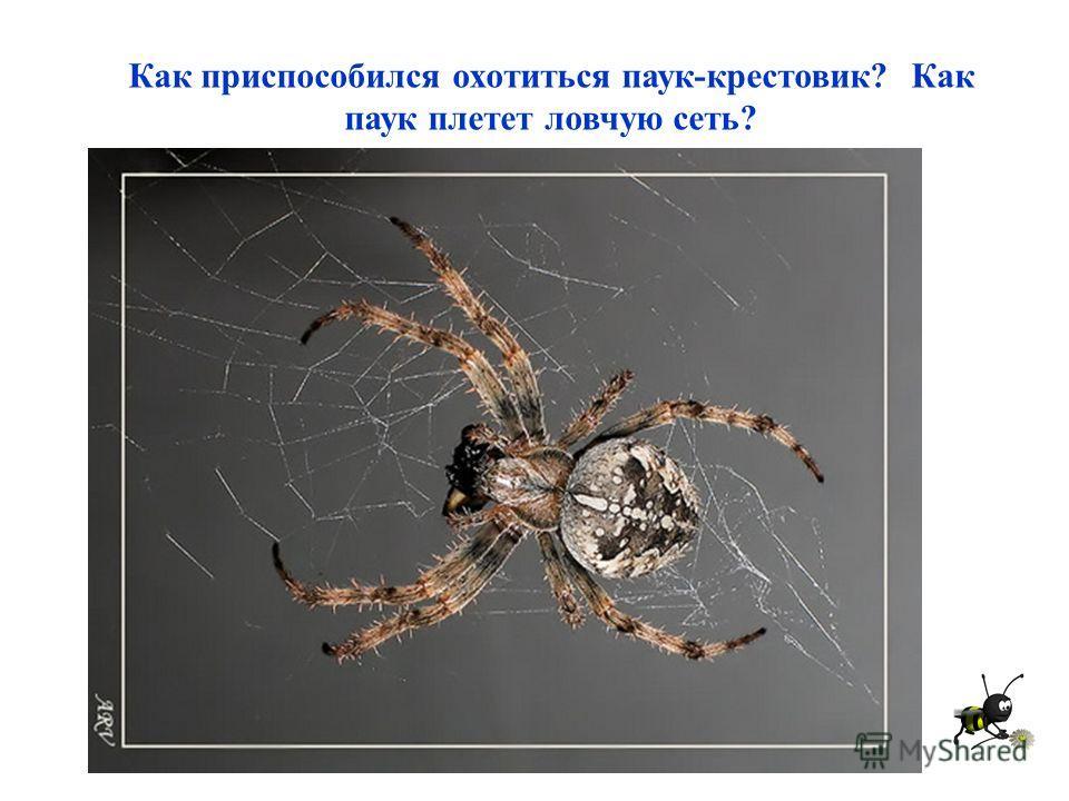 Как приспособился охотиться паук-крестовик? Как паук плетет ловчую сеть?