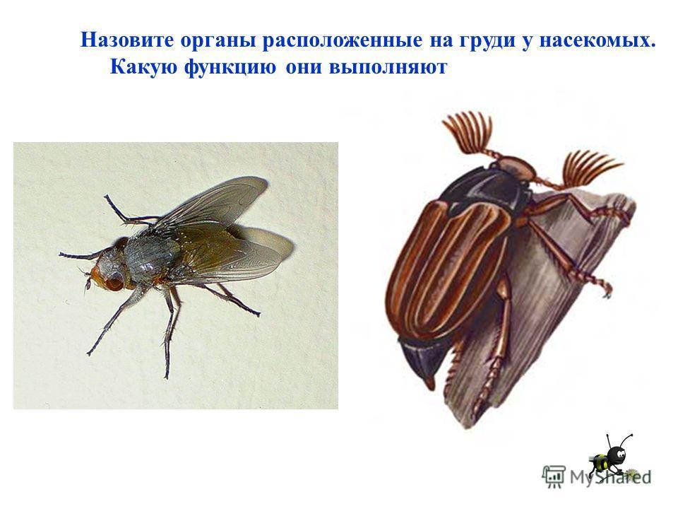 Назовите органы расположенные на груди у насекомых. Какую функцию они выполняют