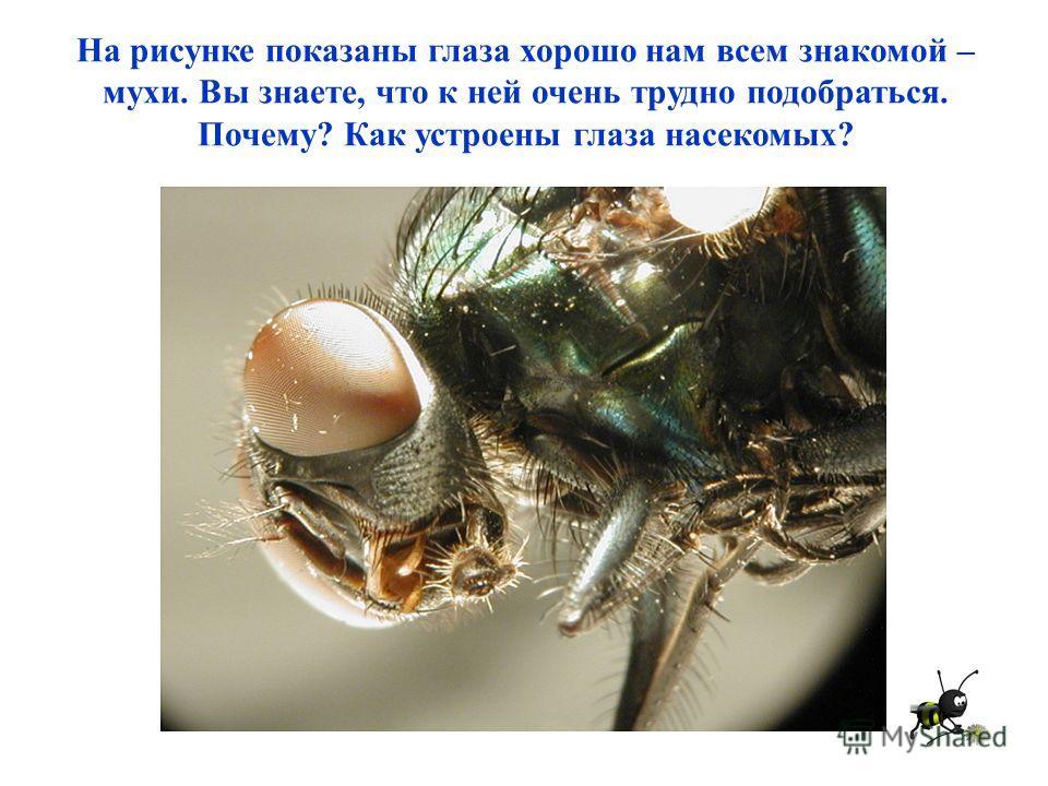 На рисунке показаны глаза хорошо нам всем знакомой – мухи. Вы знаете, что к ней очень трудно подобраться. Почему? Как устроены глаза насекомых?