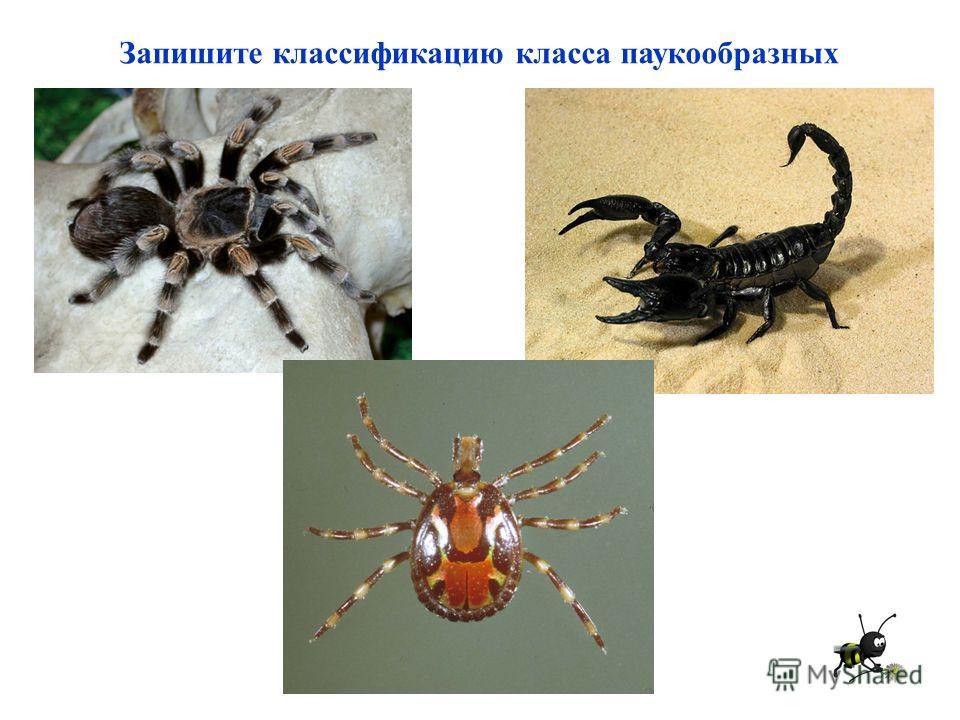 Запишите классификацию класса паукообразных