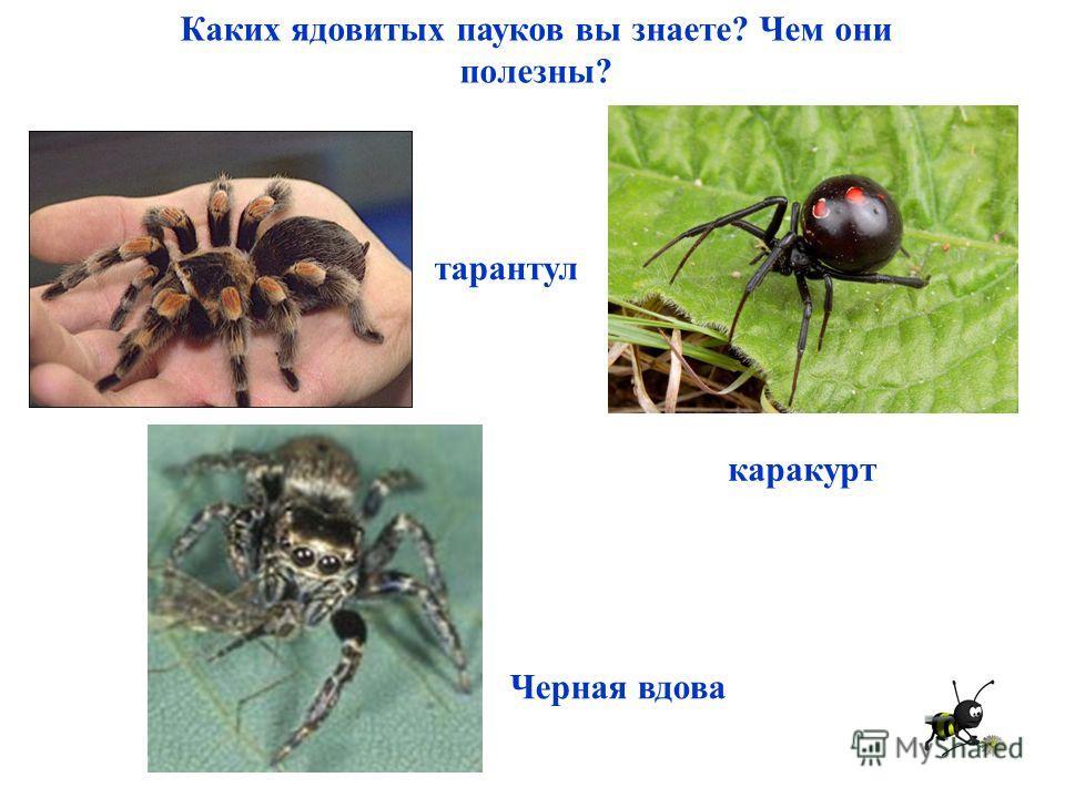 Каких ядовитых пауков вы знаете? Чем они полезны? тарантул Черная вдова каракурт