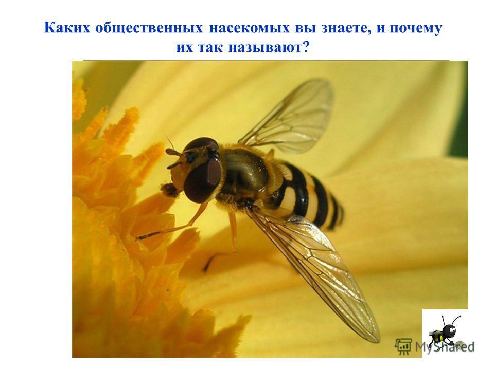 Каких общественных насекомых вы знаете, и почему их так называют?