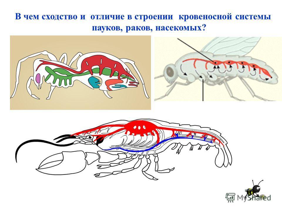 В чем сходство и отличие в строении кровеносной системы пауков, раков, насекомых?