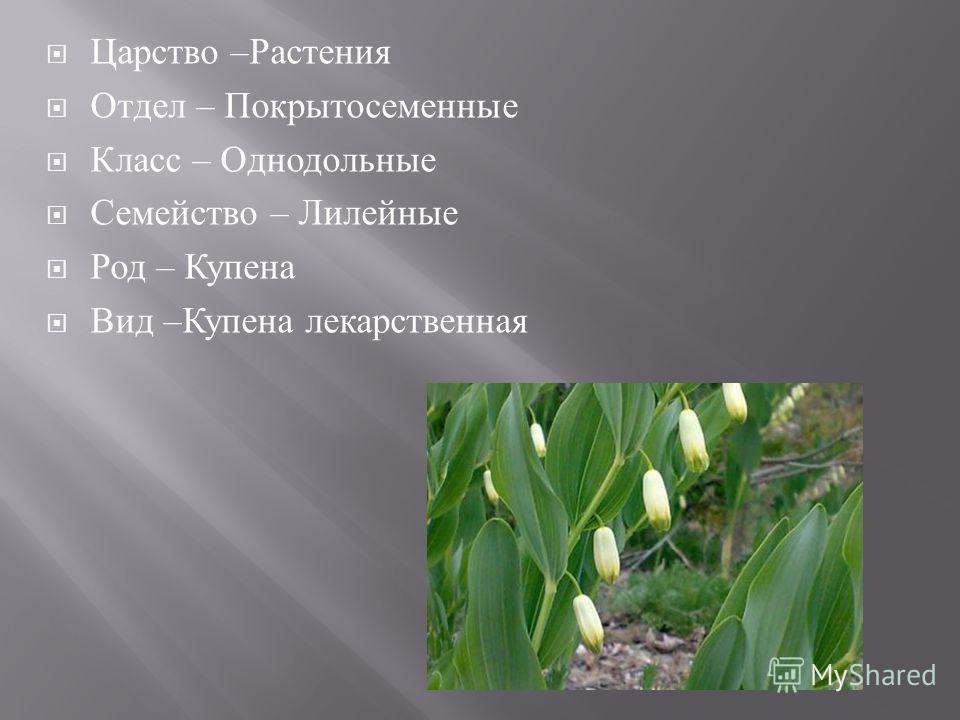 Царство – Растения Отдел – Покрытосеменные Класс – Однодольные Семейство – Лилейные Род – Купена Вид – Купена лекарственная