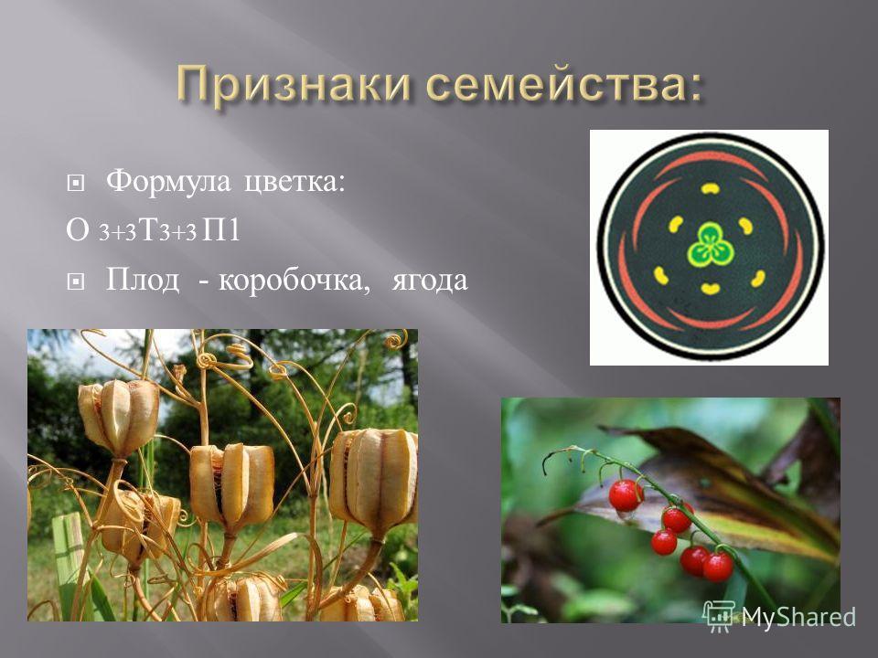 Формула цветка : О 3+3 Т 3+3 П 1 Плод - коробочка, ягода