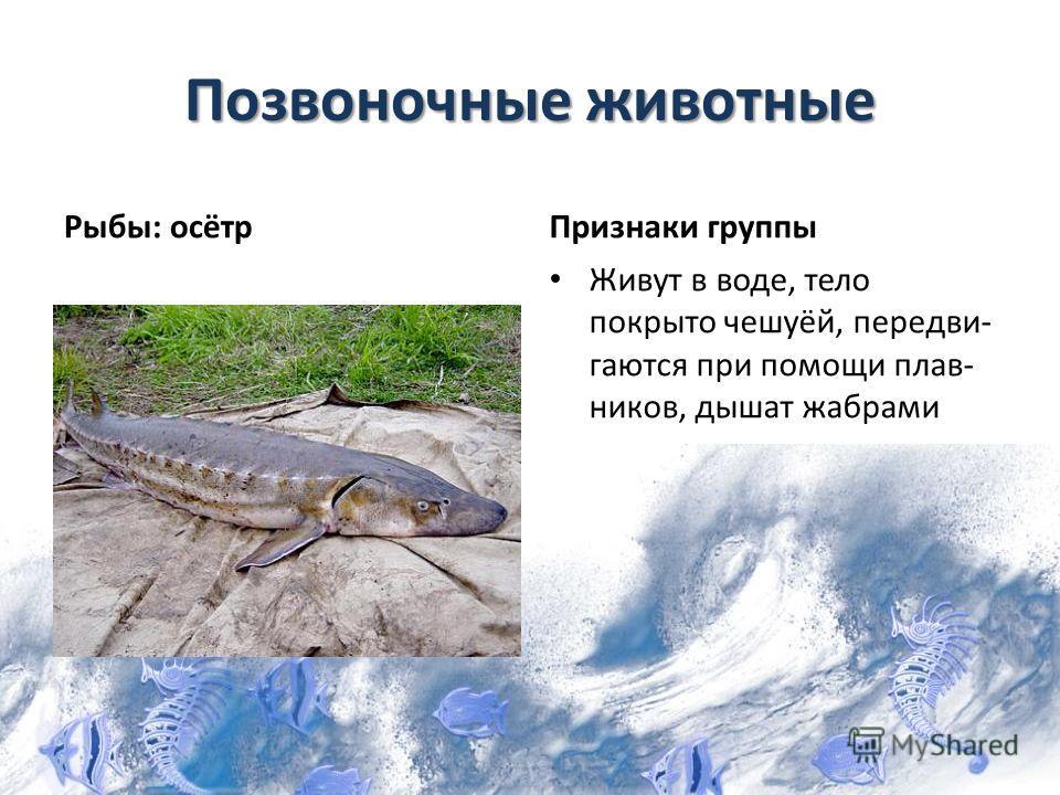 Позвоночные животные Рыбы: осётрПризнаки группы Живут в воде, тело покрыто чешуёй, передви- гаются при помощи плав- ников, дышат жабрами