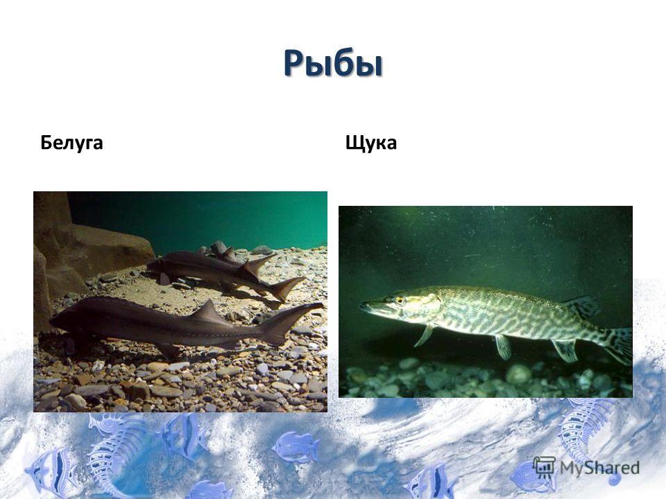 Рыбы БелугаЩука