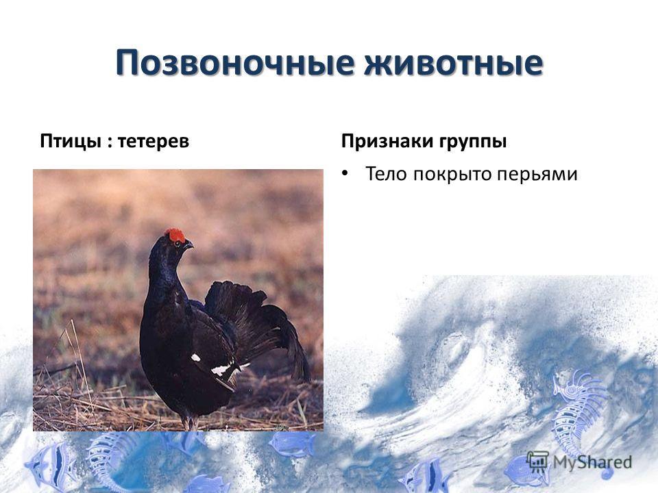 Позвоночные животные Птицы : тетеревПризнаки группы Тело покрыто перьями
