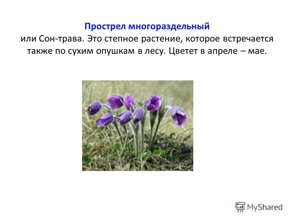 Прострел многораздельный или Сон-трава. Это степное растение, которое встречается также по сухим опушкам в лесу. Цветет в апреле – мае.