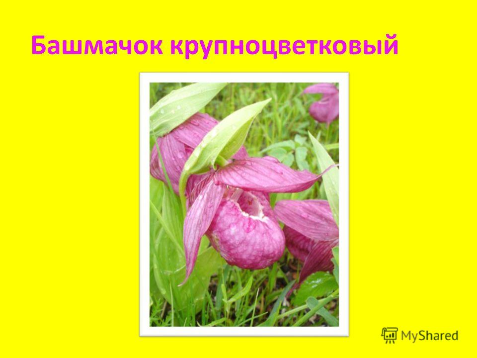 Башмачок крупноцветковый