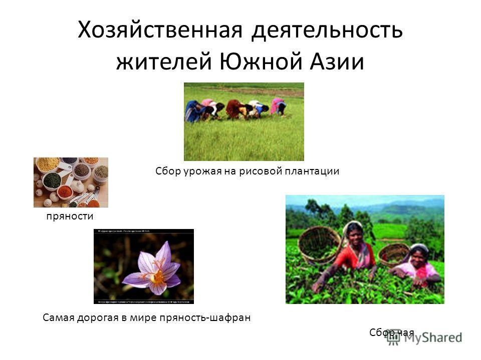 Хозяйственная деятельность жителей Южной Азии пряности Самая дорогая в мире пряность-шафран Сбор чая Сбор урожая на рисовой плантации