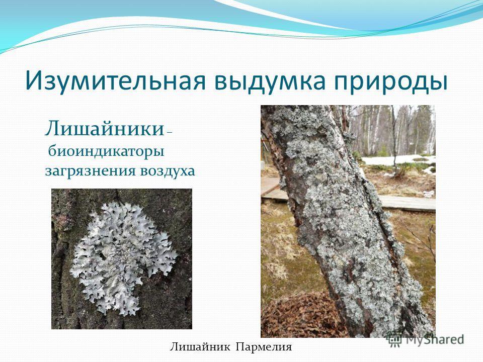 Изумительная выдумка природы Лишайник Пармелия Лишайники – биоиндикаторы загрязнения воздуха