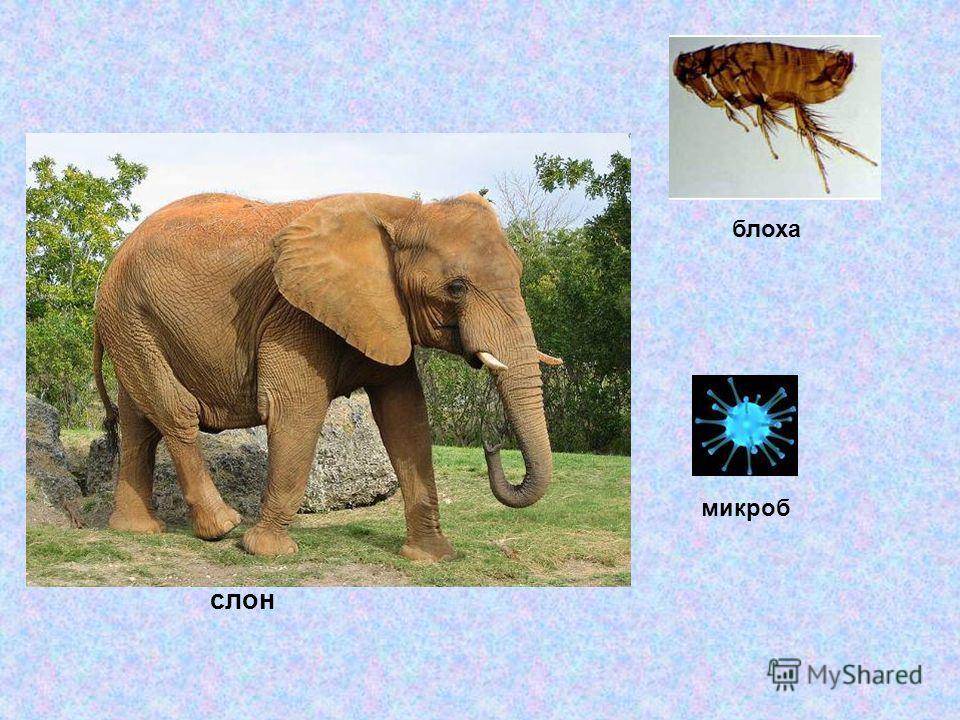 микроб слон блоха