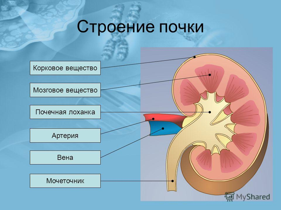 Строение почки Корковое вещество Мозговое вещество Почечная лоханка Вена Артерия Мочеточник