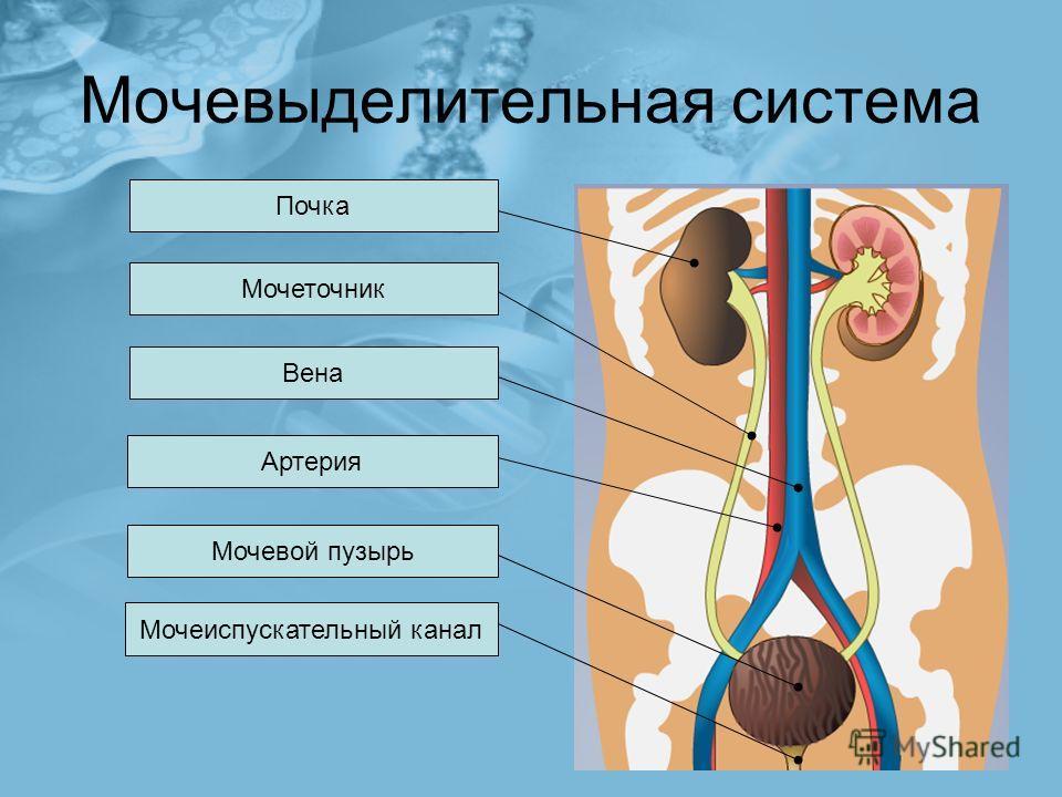 Мочевыделительная система Почка Мочеточник Мочевой пузырь Артерия Вена Мочеиспускательный канал