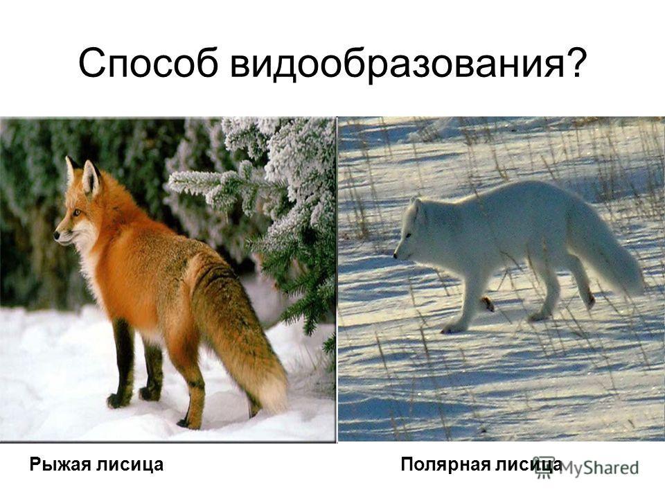 Способ видообразования? Рыжая лисицаПолярная лисица
