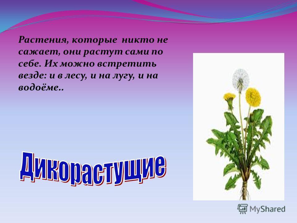 Растения, которые никто не сажает, они растут сами по себе. Их можно встретить везде: и в лесу, и на лугу, и на водоёме..