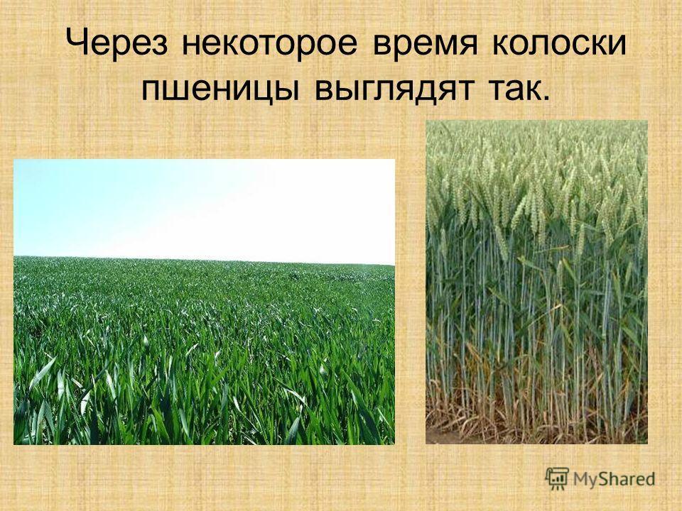 Через некоторое время колоски пшеницы выглядят так.