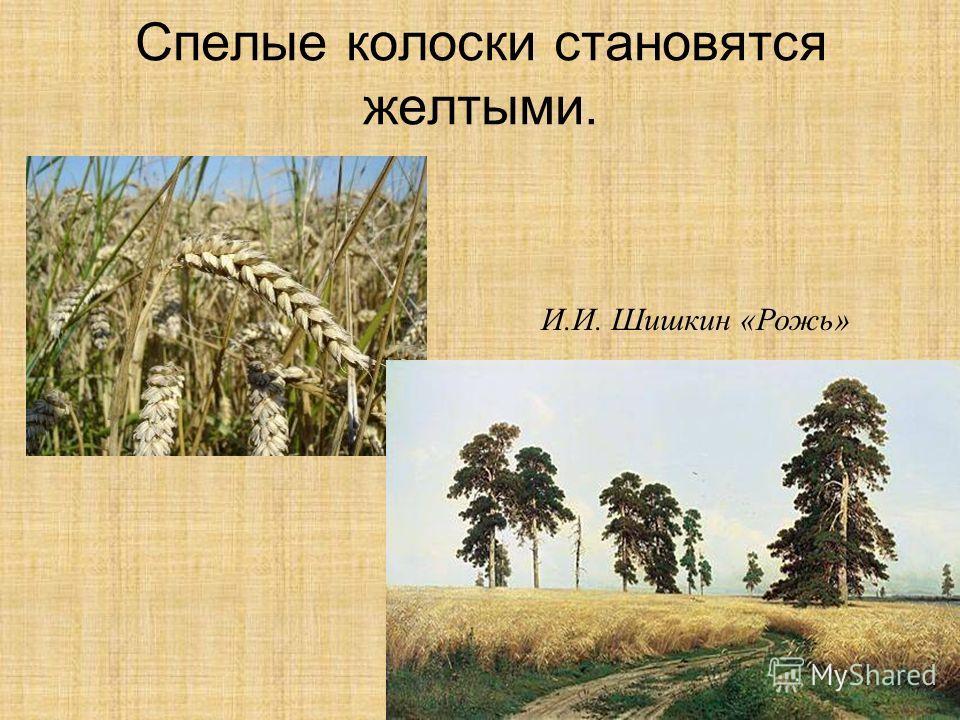 Спелые колоски становятся желтыми. И.И. Шишкин «Рожь»