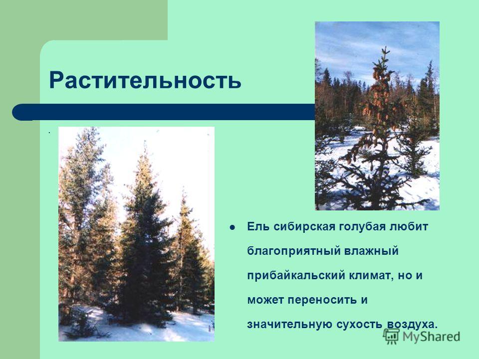 Растительность. Ель сибирская голубая любит благоприятный влажный прибайкальский климат, но и может переносить и значительную сухость воздуха.
