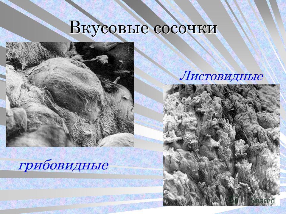 Вкусовые сосочки грибовидные Листовидные