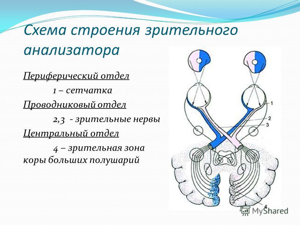 Схема строения зрительного анализатора Периферический отдел 1 – сетчатка Проводниковый отдел 2,3 - зрительные нервы Центральный отдел 4 – зрительная зона коры больших полушарий