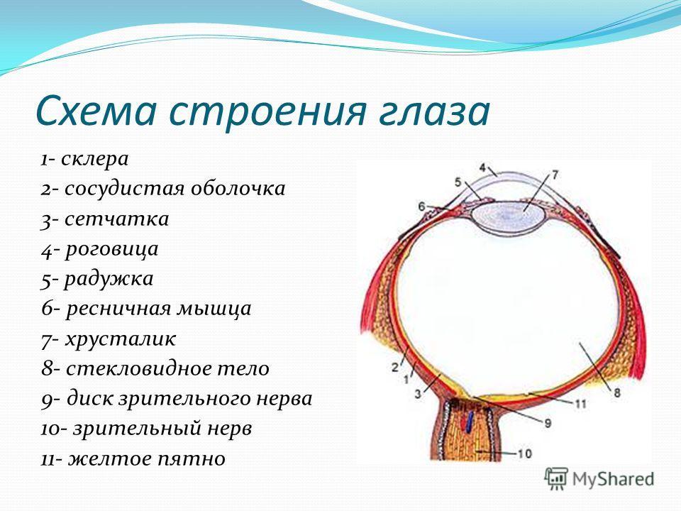 Схема строения глаза 1- склера 2- сосудистая оболочка 3- сетчатка 4- роговица 5- радужка 6- ресничная мышца 7- хрусталик 8- стекловидное тело 9- диск зрительного нерва 10- зрительный нерв 11- желтое пятно