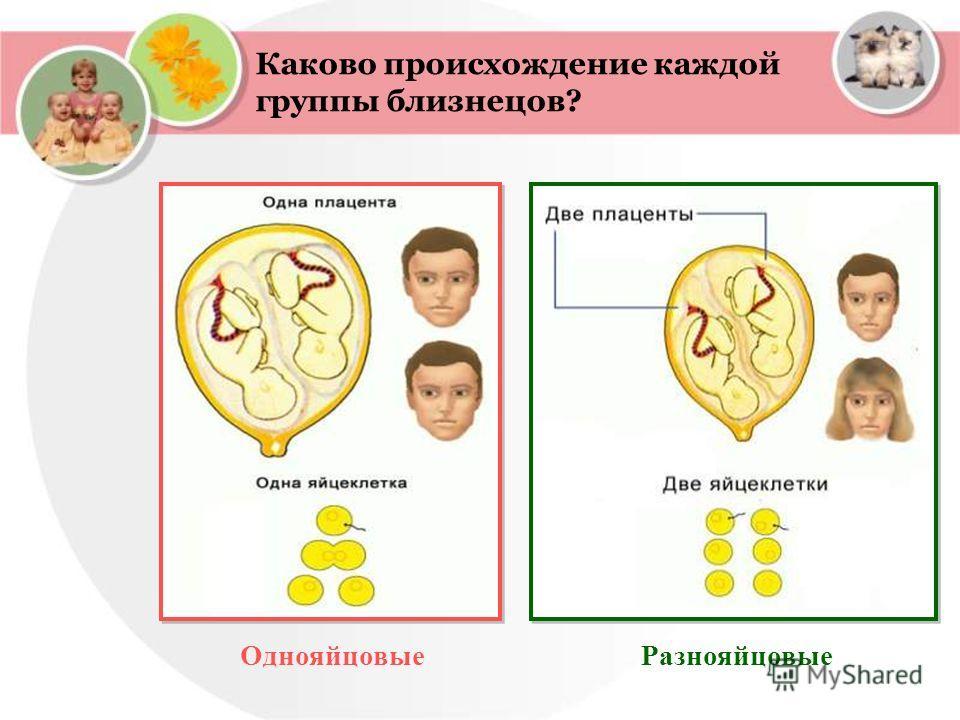 Каково происхождение каждой группы близнецов? ОднояйцовыеРазнояйцовые