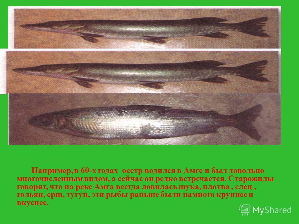Например, в 60-х годах осетр водился в Амге и был довольно многочисленным видом, а сейчас он редко встречается. Старожилы говорят, что на реке Амга всегда ловилась щука, плотва, елец, гольян, ерш, тугун, эти рыбы раньше были намного крупнее и вкуснее