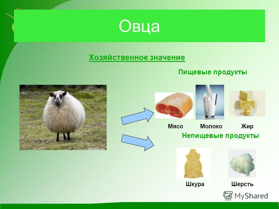 Овца Хозяйственное значение Пищевые продукты Мясо Непищевые продукты ШкураШерсть МолокоЖир