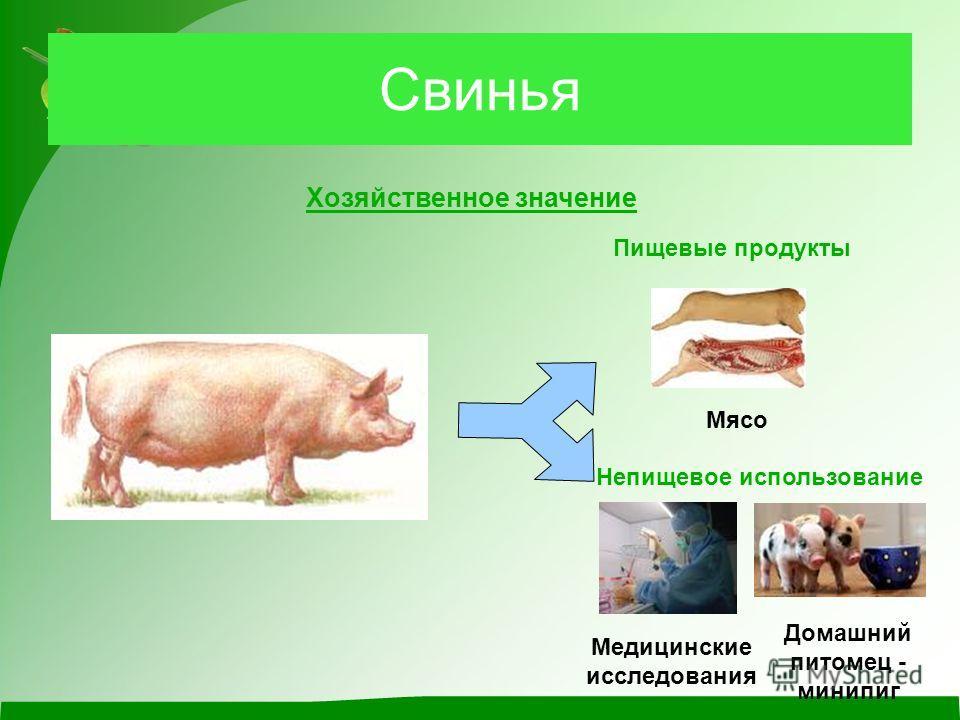 Свинья Хозяйственное значение Пищевые продукты Мясо Непищевое использование Медицинские исследования Домашний питомец - минипиг