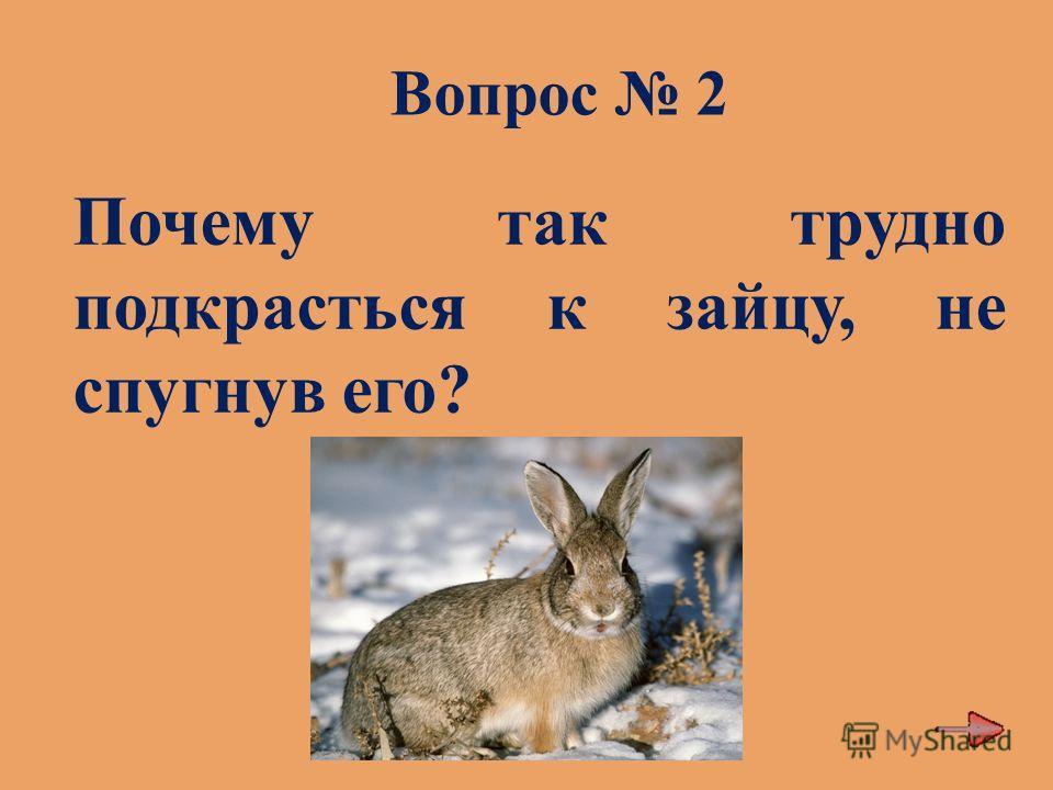 Вопрос 2 Почему так трудно подкрасться к зайцу, не спугнув его?