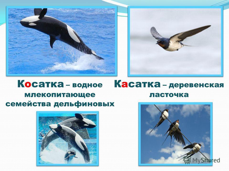 Косатка – водное млекопитающее семейства дельфиновых Касатка – деревенская ласточка
