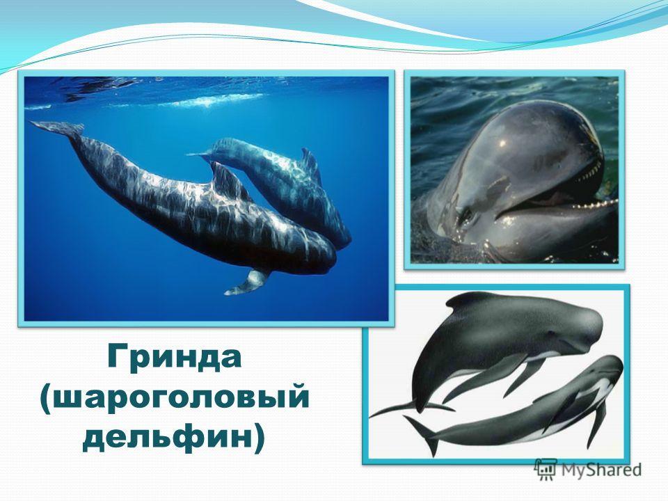 Гринда (шароголовый дельфин)
