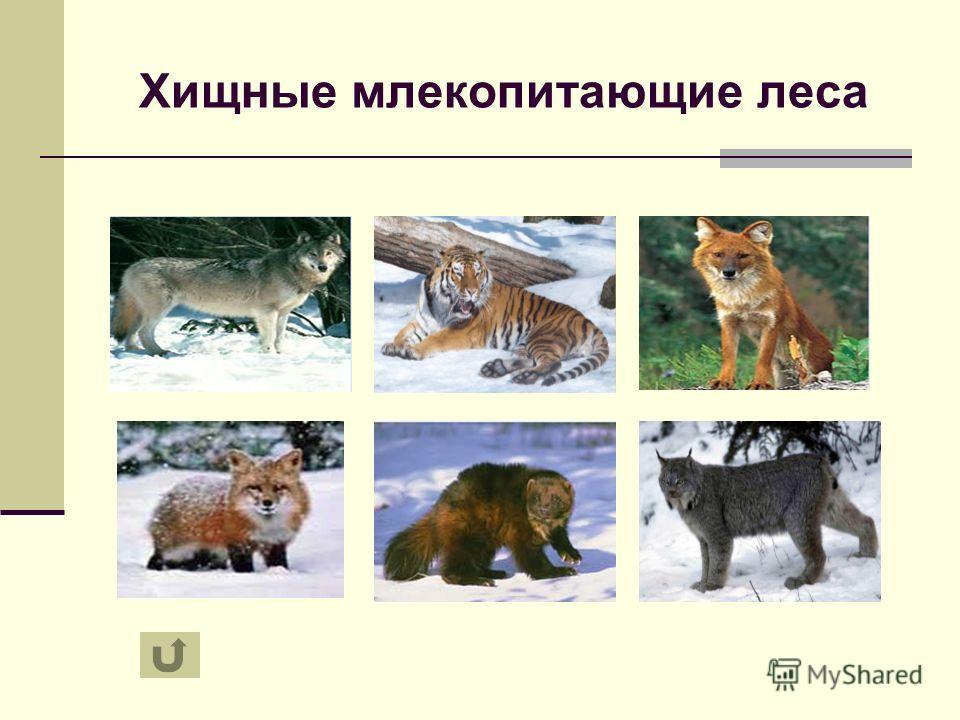 Хищные млекопитающие леса