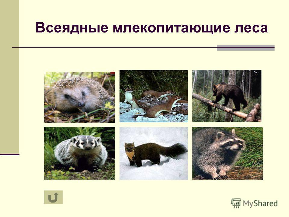 Всеядные млекопитающие леса