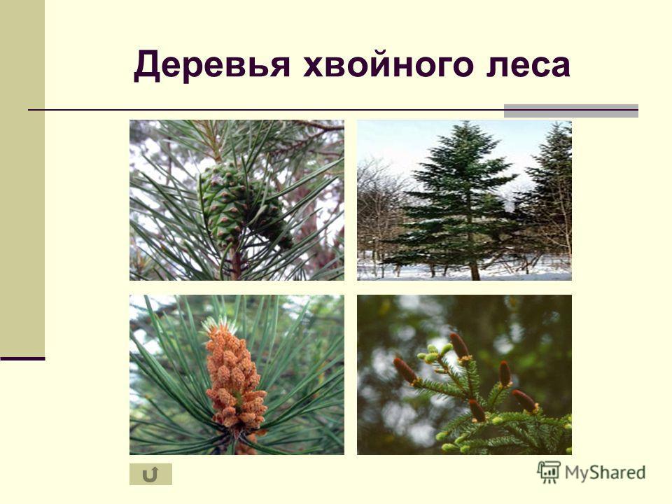 Деревья хвойного леса
