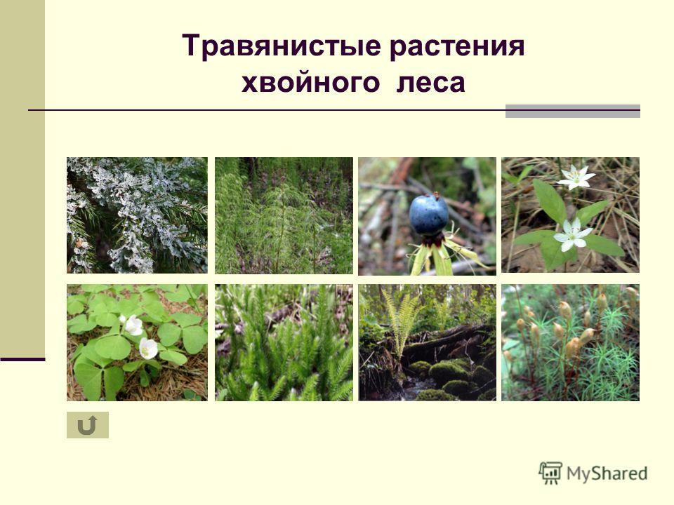 Травянистые растения хвойного леса